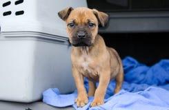 De Fawn Boxer gemengde hond van het rassenpuppy royalty-vrije stock foto