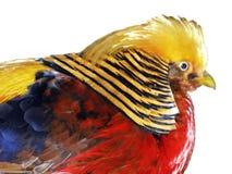 De fazant Stock Afbeeldingen