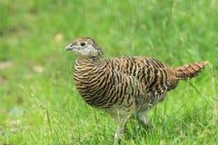 De fazant van dame Amherst's Stock Afbeeldingen