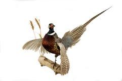 De fazant zet op Stock Foto's