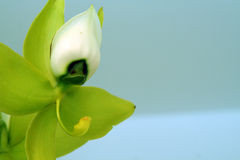 De Fee van de orchidee Stock Fotografie