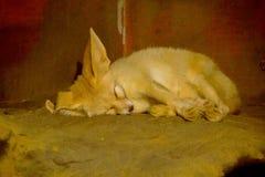 De Fennecvos slaapt op de vloer stock foto