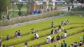 De festivaldeelnemers verzamelen zich om sprinkhanen in gouden padieveld bij Gimje-Horizonfestival te vangen stock footage