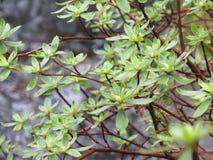 De feuilles de branches de Bush fin verte  Images stock