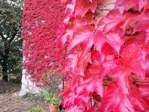 ` De feuilles de rouge de ` Photographie stock