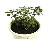 De ficus groeit in een pot op een witte geïsoleerde achtergrond Stock Afbeeldingen