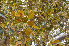 De ficus verlaat de Oude Moreton-Ficus van Baaifig. letterlijk is gegroeid met Beverly Hills in de loop van de jaren Stock Foto's