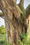 De Ficusaurea van Stranglerfig. windt zijn manier rond de boomstam van o stock foto