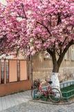 De fiets met een mand bevindt zich dichtbij het bloeien sakura Stock Afbeeldingen