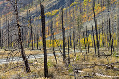 De fietser ging door een gebrand bos op een grintweg Stock Afbeeldingen