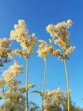De Filipendulabloem, kwam op de achtergrond van blauwe hemel tot bloei stock foto