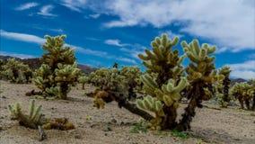 De Film van de tijdtijdspanne van Cholla-Cactustuin stock footage