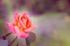 De fin filtre de fleurs rétro de fond de style rose de vintage Images libres de droits