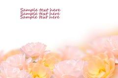 De fin fleur rose d'isolement sur le fond blanc Image stock