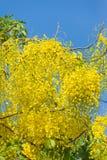 De fistelbloem van de kassieboom Royalty-vrije Stock Foto