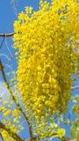 De fistelbloem van de kassieboom Stock Afbeeldingen