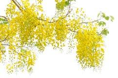 De fistelbloem van de kassieboom stock foto