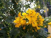De fistelbloem van de kassieboom Indisch Laburnum stock foto