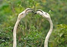 De flamingo debatteert Royalty-vrije Stock Fotografie