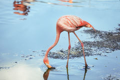 De flamingo's eten Royalty-vrije Stock Afbeeldingen