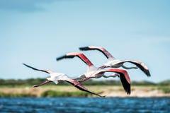 De flamingo's nemen vlucht Royalty-vrije Stock Afbeeldingen