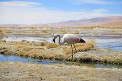 De Flamingo's van de Andes dichtbij de hete lente in de woestijn van Bolivië Royalty-vrije Stock Afbeelding