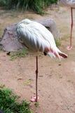 De flamingo's van de vogel Stock Afbeelding