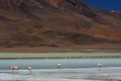 De flamingo's van James in Laguna Hedionda PotosÃafdeling bolivië Stock Fotografie