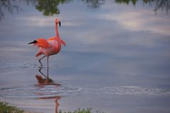 De Flamingo van de Galapagos in Santa Cruz Islands Royalty-vrije Stock Foto's