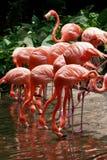 De flamingo van de vogel Royalty-vrije Stock Fotografie