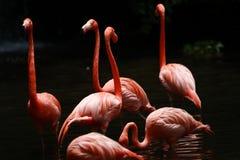 De flamingo van de vogel stock afbeelding