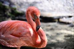 De Flamingo van Florida Royalty-vrije Stock Foto's