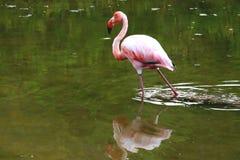 De Flamingo van de Galapagos het lopen Royalty-vrije Stock Foto's