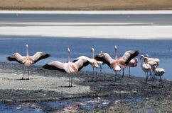de flamingos salar uyuni Fotografering för Bildbyråer