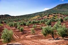 De flank van een olijfboomheuvel Stock Afbeeldingen