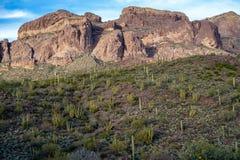 De flarden van de Cactus van de Orgaanpijp groeien langs Ajo-Bergaandrijving in de woestijn van Arizona Sonoran in het Nationale  stock foto