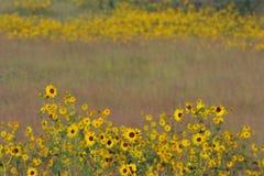 De flarden van de zonnebloem, lange grasprairie Royalty-vrije Stock Foto