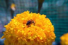 De fleur décorative de souci plan rapproché vibrant jaune et medicative images libres de droits