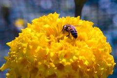 De fleur décorative de souci plan rapproché vibrant jaune et medicative photos libres de droits
