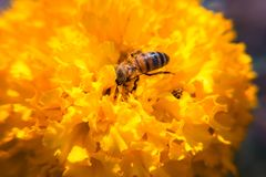 De fleur décorative de souci plan rapproché vibrant jaune et medicative photos stock