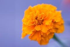 De fleur décorative de souci plan rapproché vibrant orange et medicative photo libre de droits