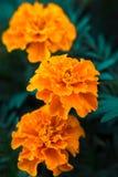 De fleur décorative de souci plan rapproché vibrant orange et medicative photographie stock