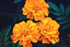 De fleurs décoratives de souci plan rapproché vibrant orange et medicative photos stock