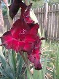 De fleurs flourish rouge magnifique presque L'été est arrivé en Serbie photo libre de droits
