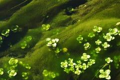 De flora van het water stock fotografie