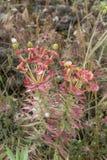 De flora van de vulkaan van Ondersteletna, roze rigida van de bloesemwolfsmelk, gopher spurge, rechte mirte spurge bloeit stock foto