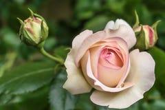 ` De floraison d'Éden de ` de rosa Photographie stock