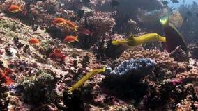 De fluit van de vissennaald onderwater op achtergrond van verbazende zeebedding in de Maldiven stock footage