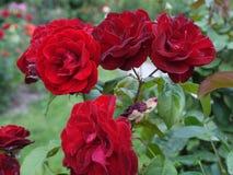 De fluweelbloemblaadjes van rode rozen zijn eenvoudig fascinerend met hun tederheid en schoonheid Zo wilt u van hun fantasievol g royalty-vrije stock foto