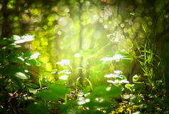De focus blurred forest background grass and leaves, sunlight and bokeh Stock Image
